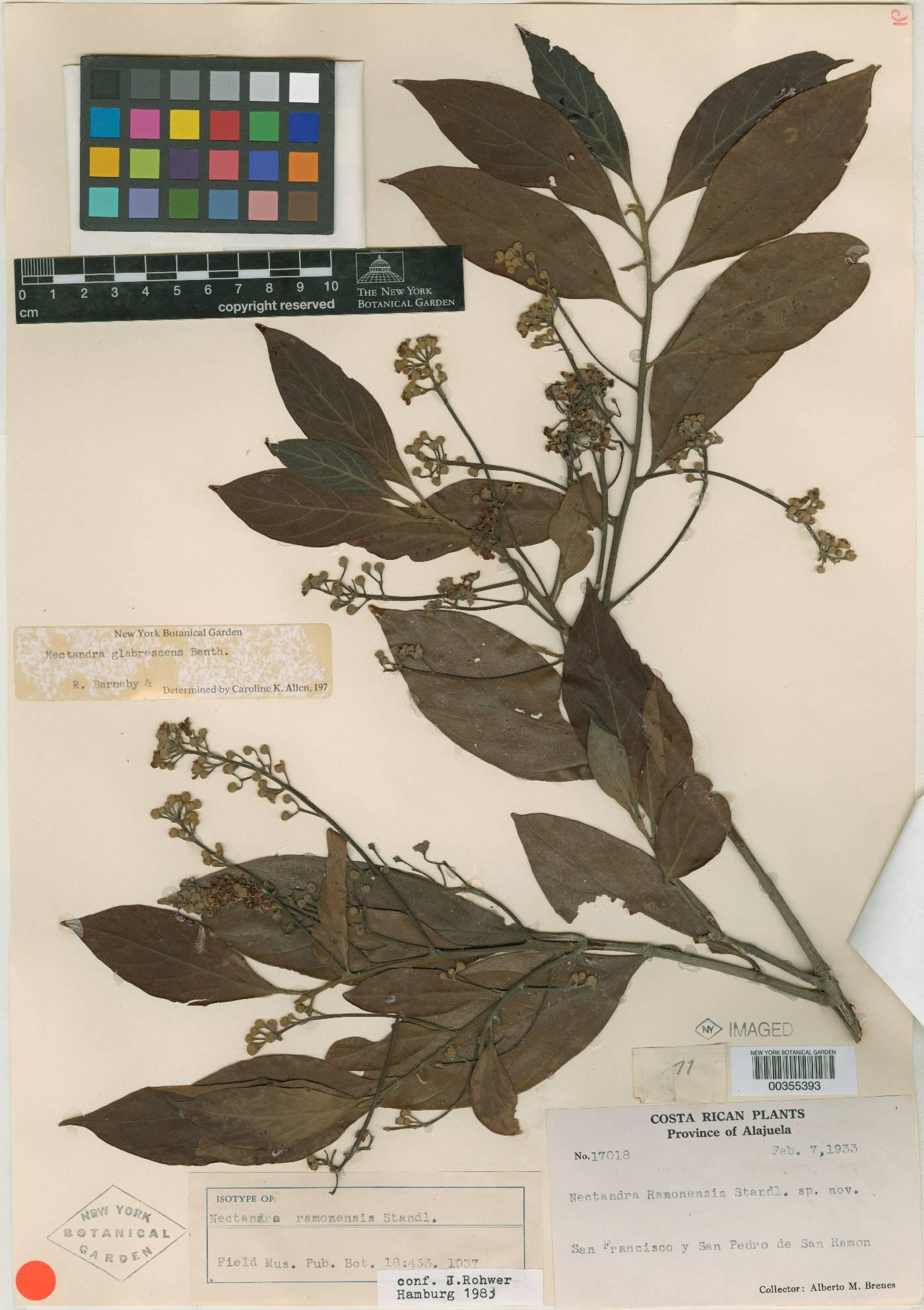 Nectandra ramonensis image