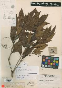 Nectandra salicina image