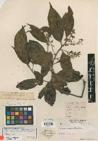 Nectandra membranacea image