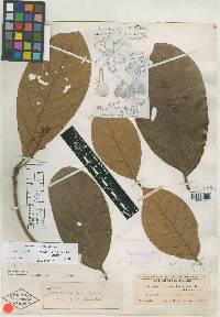 Pleurothyrium palmanum image