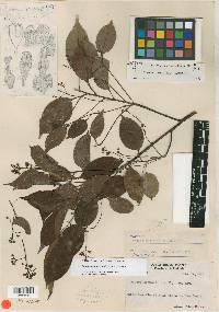 Cinnamomum brenesii image