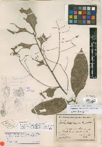 Cinnamomum costaricanum image