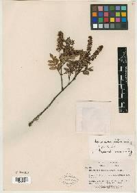 Image of Weinmannia glabra