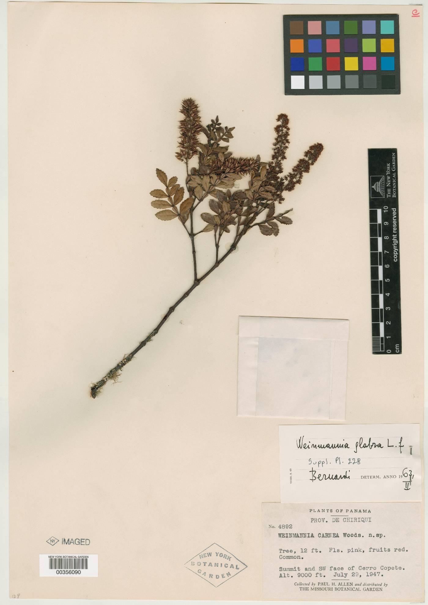 Weinmannia glabra image