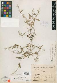 Ichnanthus nemorosus image