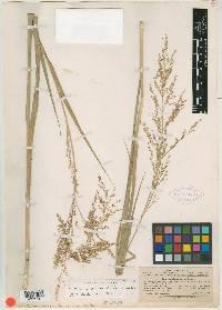 Panicum altum image
