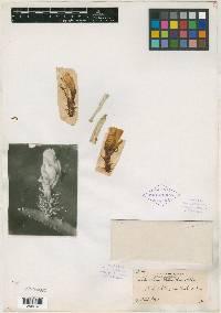 Weberocereus panamensis image