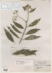 Daphnopsis americana image