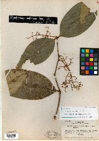Image of Calyptranthes tumidonodia
