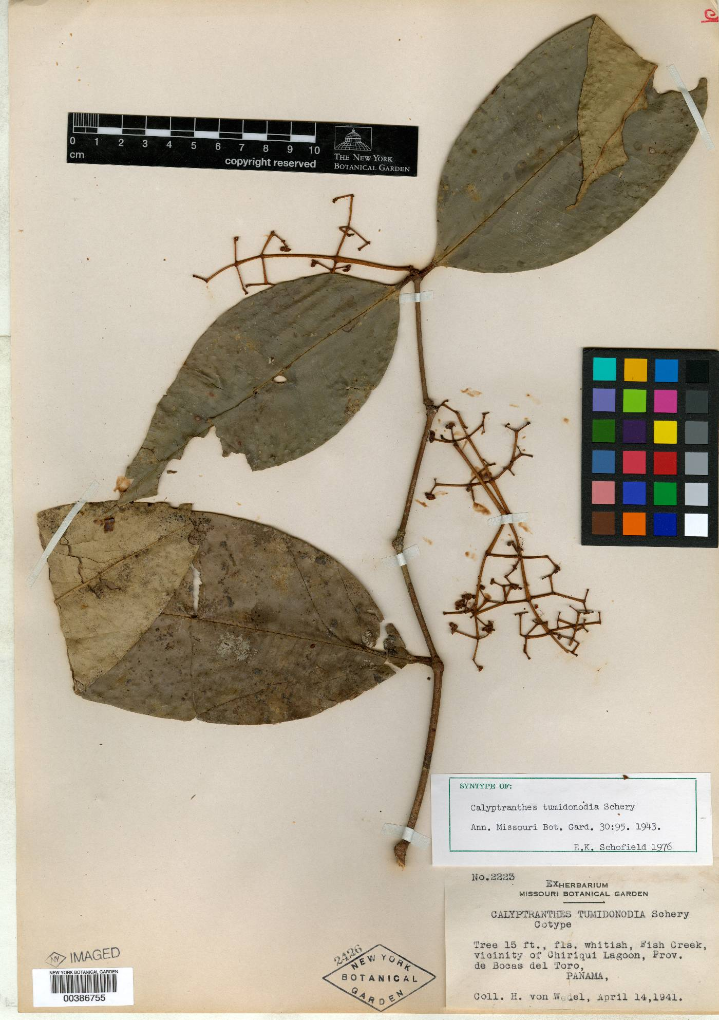 Calyptranthes tumidonodia image