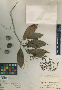 Meliosma grandiflora image