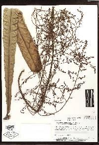 Meliosma linearifolia image