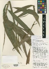 Pharus parvifolius image