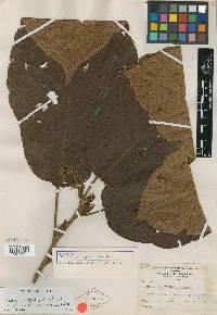 Sloanea medusula image