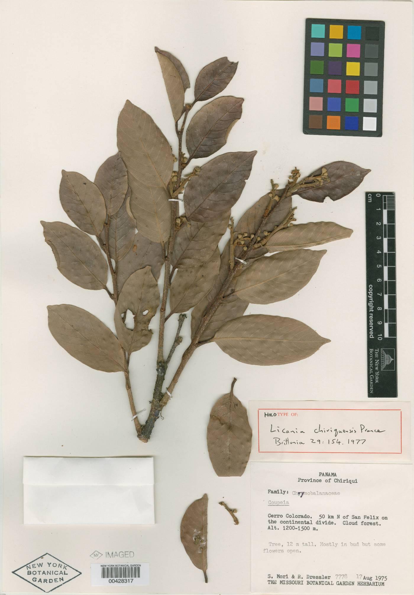 Licania chiriquiensis image