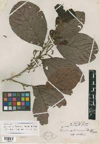 Licania costaricensis image