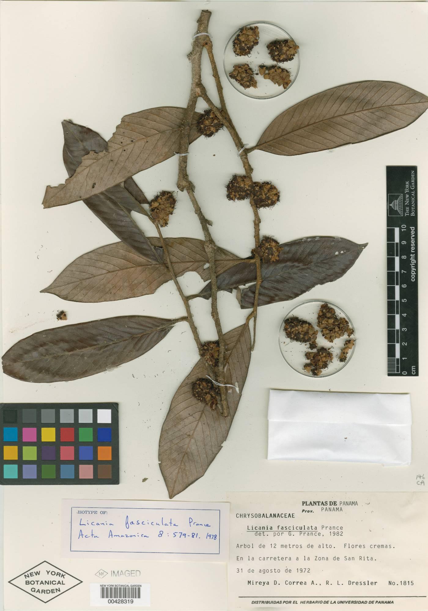 Licania fasciculata image