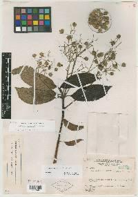 Image of Saurauia seibertii