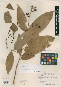 Image of Ouratea patelliformis