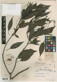 Ilex costaricensis image