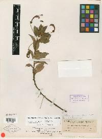 Centropogon ferrugineus image