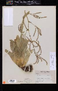 Catopsis micrantha image