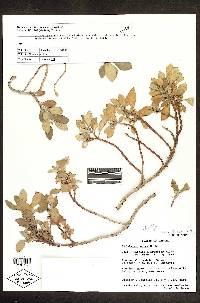 Rufodorsia minor image