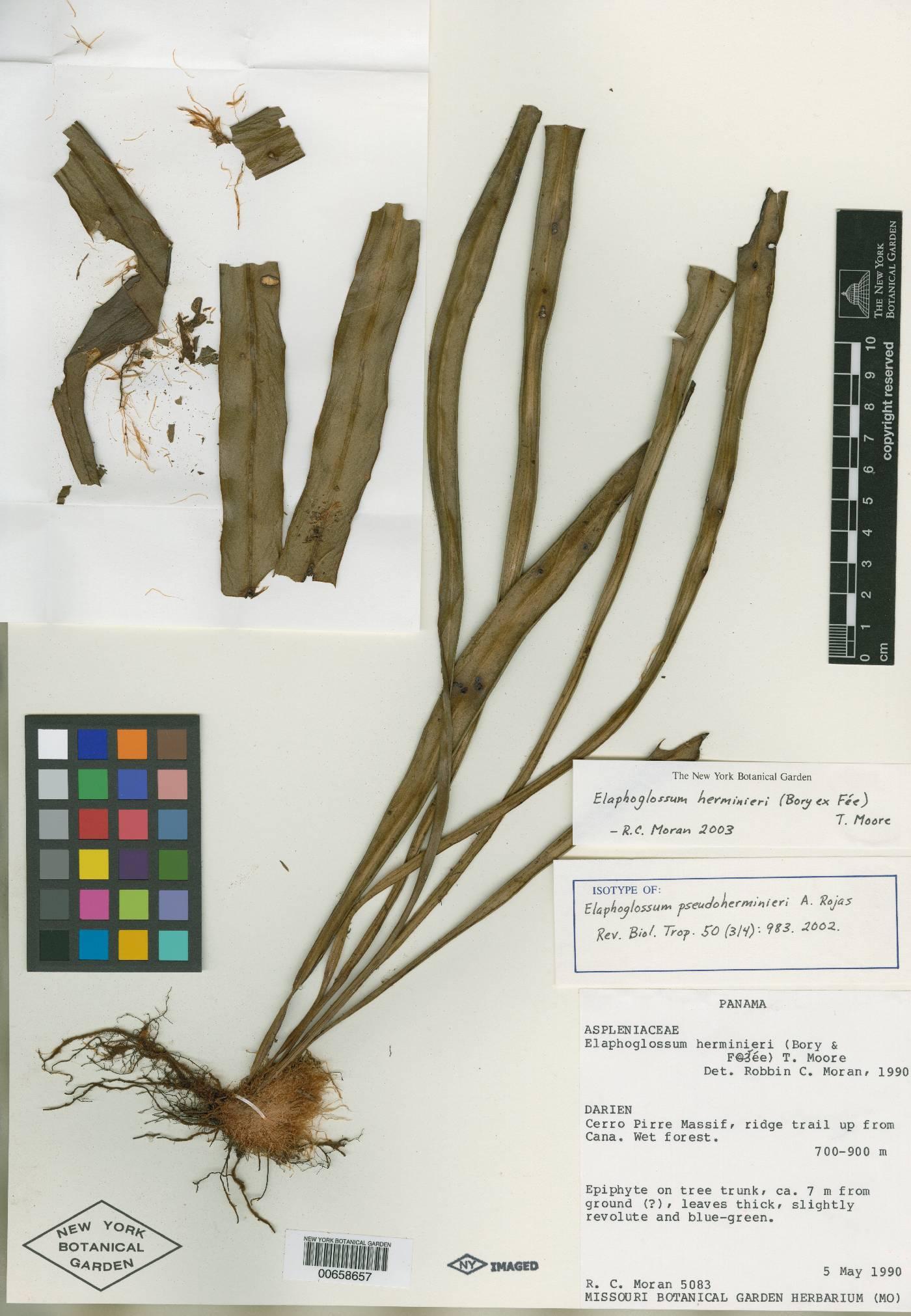 Elaphoglossum pseudoherminieri image