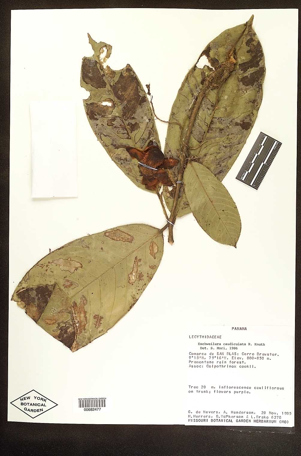 Eschweilera caudiculata image
