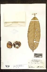 Eschweilera calyculata image