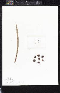 Calyptrogyne allenii image