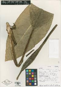Dieffenbachia nitidipetiolata image