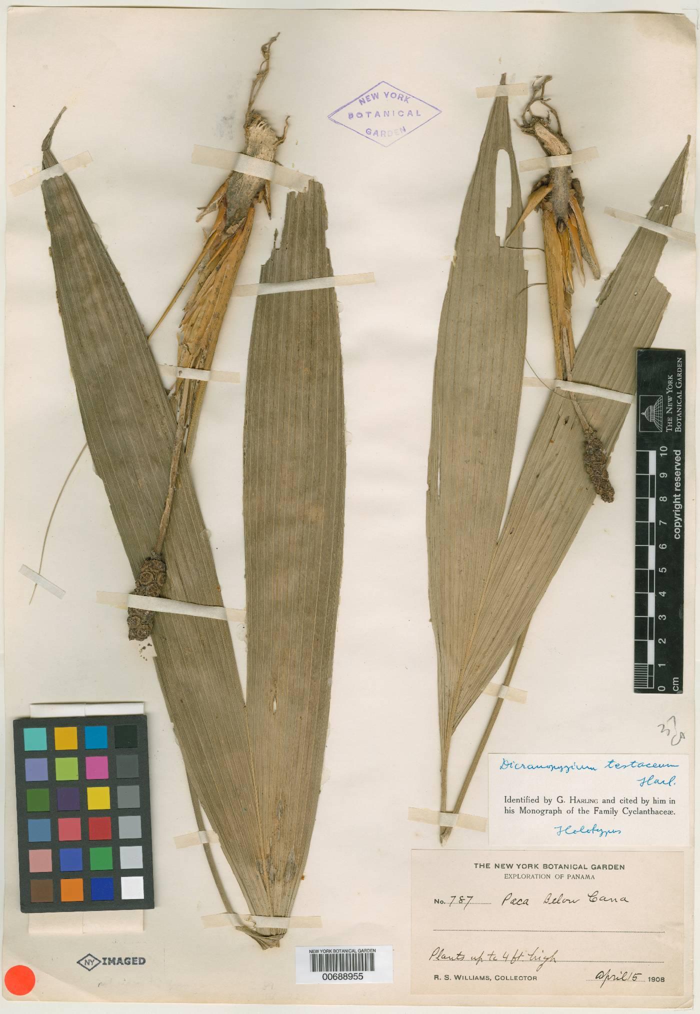 Dicranopygium testaceum image