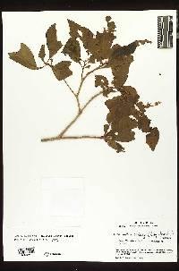 Terminalia oblonga image