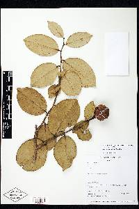 Eschweilera sessilis image