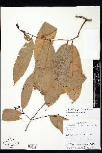 Eschweilera hondurensis image