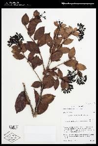 Vaccinium costaricense image