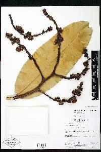 Lecythis tuyrana image