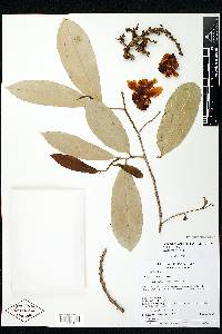 Lecythis minor image