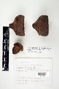 Eschweilera coriacea image