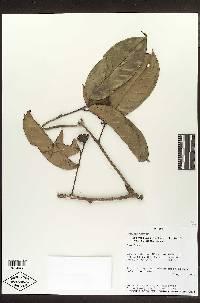 Eschweilera pittieri image