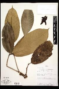 Eschweilera antioquensis image