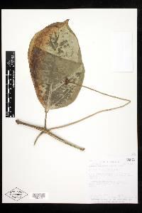 Psiguria triphylla image