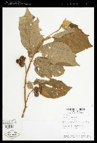 Solanum accrescens image