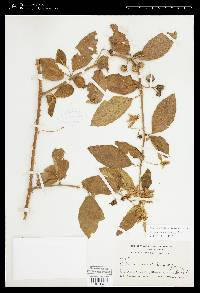 Solanum volubile image