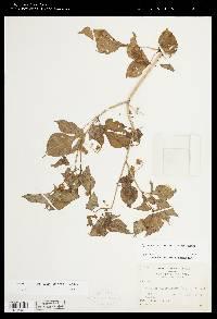 Solanum allophyllum image
