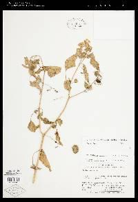 Image of Solanum allophyllum