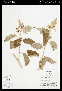 Solanum torvum image