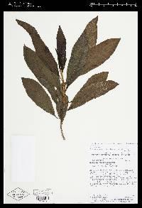 Solanum vacciniiflorum image
