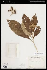 Solanum umbellatum image